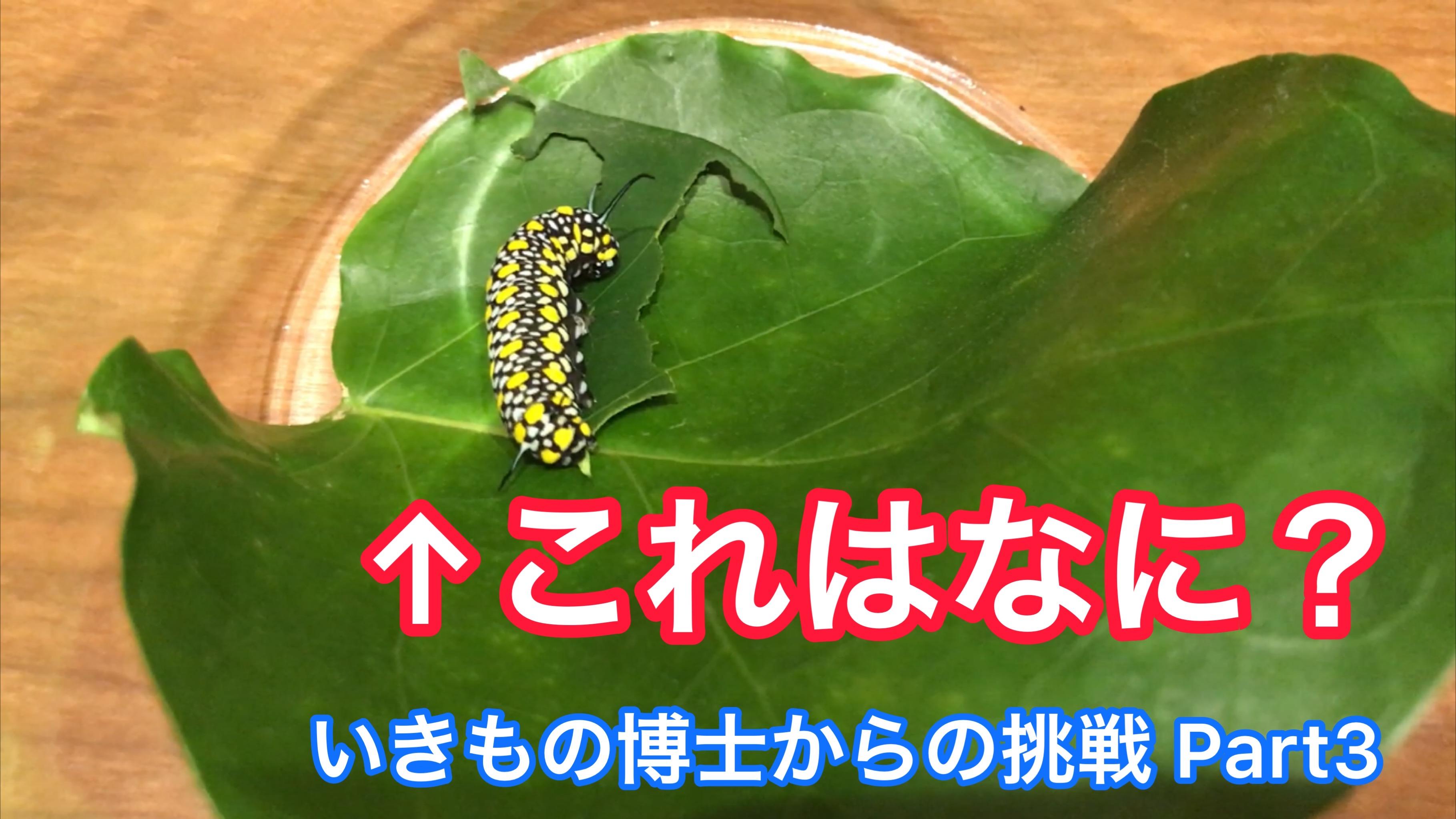 この幼虫はなに? YouTubeいきものクイズ第3弾!